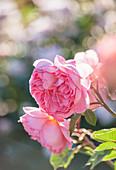 Blüte der englischen Rose 'Boscobel' (Rosa) von David Austin
