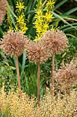 Samenstände von Zierlauch 'Globemaster' (Allium) mit Junkerlilie (Asphodeline) im Beet
