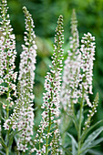 Spanischer Felberich (Lysimachia ephemerum) mit weißen Blüten