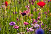 Bunte Kornblumen (Centaurea) und Klatschmohn (Papaver rhoeas)