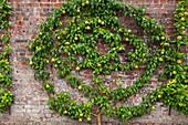 Pyrus communis 'Doyenne du Comice' (Birnbaum, Birne) als Spalier-Obst rund gezogen