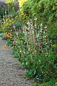 Blumen-Rabatte mit Stockrosen (Alcea rosea)