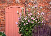 Pinke Stockrose (Alcea rosea) vor Backsteinmauer