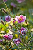 Herbstanemone 'Rosenschale' (Anemone japonica)