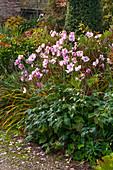 Herbstanemone 'Rosenschale' (Anemone japonica) im herbstlichen Garten