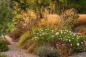 Herbst-Beet mit Rosen 'Kent', Fetthenne 'Matrona', Riesen-Federgras und Rutenhirse 'Squaw'