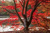Japanischer Fächerahorn (Acer palmatum) in leuchtend roter Herbstfärbung am Teich