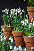 Blühende Schneeglöckchen 'Brenda Troyle' (Galanthus nivalis) in Tontöpfen