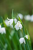 Blüten von Sommer-Knotenblume, Märzenbecher (Leucojum aestivum)