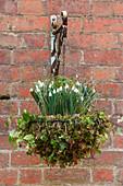 Hanging Basket mit Schneeglöckchen (Galanthus) und Efeu (Hedera)