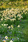 Zwiebelblumen-Wiese, Narzissen (Narcissus) und Strahlenanemone (Anemone blanda)