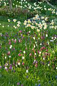Zwiebelblumen-Wiese, Narzissen (Narcissus), Schachblume, Schachbrettblume (Fritillaria meleagris) und Strahlenanemone (Anemone blanda)