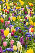 Bunter Frühlings-Mix im Garten, Tulpen (Tulipe), Hyazinthen (Hyacinthus), Kaiserkronen (Fritillaria imperialis) und Anemonen (Anemone coronaria)