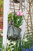 Bepflanzte Umhängetasche mit Narzisse 'Salome' (Narcissus) und Tulpen (Tulipa)