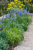 Blau-gelbes Beet mit Prärielilien (Camassia) und Mittelmeer-Wolfsmilch (Euphorbia characias)