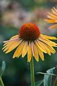 Sonnenhut 'Big Kahuna' (Echinacea )