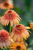 Sonnenhut 'Supreme Cantaloupe' (Echinacea)