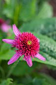 Sonnenhut 'Catharina Red' (Echinacea)