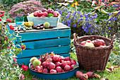 Ernte Stillleben mit Äpfeln im Garten
