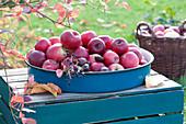 Frisch gepflückte Äpfel im emaillierten Tablett