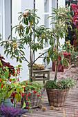 Eßkastanien in Körben unterpflanzt mit Kräutern
