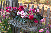 Federbusch 'Burgundy Berry' und Alpenveilchen im Korb am Gartenzaun