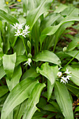 Blossoming wild garlic