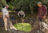 Olive harvest, Mycenae, Greece.