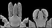 Lyme disease ticks, SEM