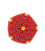 Adenovirus, molecular mode