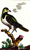 Short-toed treecreeper, 19th Century illustration