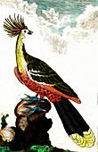 Pheasant, 19th Century illustration