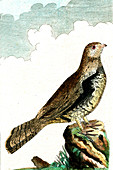 Hazel grouse, 19th Century illustration