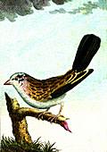 Ortolan, 19th Century illustration