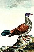 Dove, 19th Century illustration