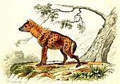 Spotted hyena, 19th Century illustration