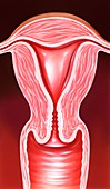 Uterus and cervix, illustration