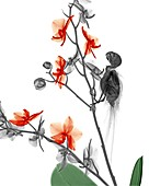 Parakeet and orchid, X-ray