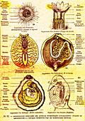 Evolution of aquatic organisms, 19th Century illustration