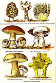 Mushrooms, 19th Century illustration