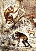 Prehistoric macaques, 19th Century illustration