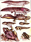 Evolution of amphibians, 19th Century illustration