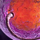 Fertilisation, illustration