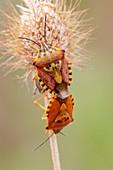 Shieldbugs mating