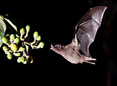 Geoffroy's tailless bat feeding