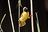 Weaver on grass stalks