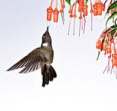 Brown violetear hummingbird feeding on nectar