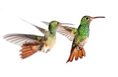 Rufous-tailed hummingbirds