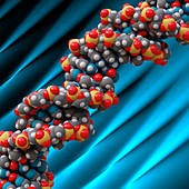 B-DNA molecule, illustration