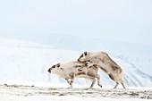 Svalbard reindeer mating
